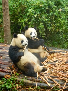 Panda's eten bamboe